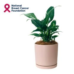 Peace Lily in Pink - NBC7